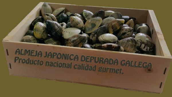 almeja japónica mariscos gallego