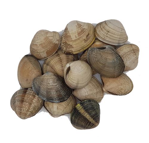 almeja japonica mariscos gallego