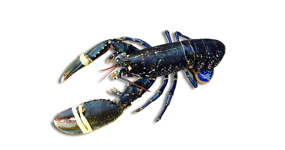 bogavante-azul-mariscos-gallego-OCP